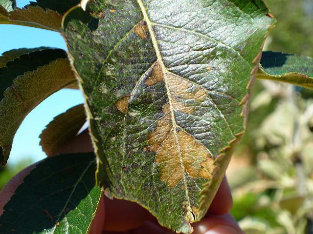 Manchas de color bronce en hojas de manzano